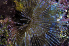 feather duster feeding-1 (b.campbell65) Tags: ocean life travel blue sea vacation fish seascape macro nature wet water beautiful beauty animal coral swim island marine colorful underwater dive scuba diving tropical environment scubadiving caribbean grenadines worms reef creature biology stvincent oceanography