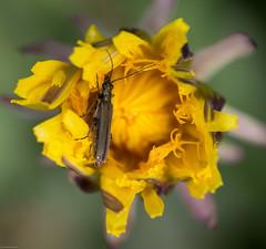 (Pho2s4me) Tags: norway no akershus insekt lvetann fredaskogen