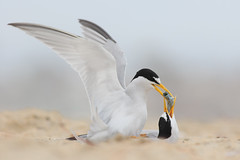 Least Tern Courting/Mating Series 1/10 (bmse) Tags: food fish beach canon mating l ritual f56 least tern exchange salah 400mm wingsinmotion 7d2 hunntington bmse baazizi