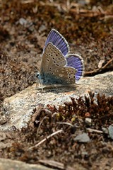 First Blue (12555) (jonathanclark) Tags: wild nature butterfly insect spring natural wildlife belfast kinnegar knocknagoney belfastharbourestate