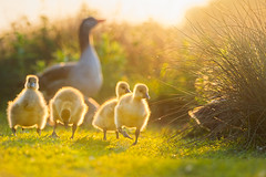 'School's Out' (Jonathan Casey) Tags: cute nikon fluffy goose gosling f2 vr 200mm greylag d810