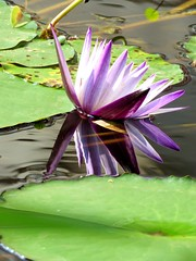 lily reflection (oneroadlucky) Tags: plant flower reflection nature waterlily purple lotus