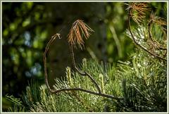 Backlight (dietmar-schwanitz) Tags: light shadow brown sun tree green pine backlight contrast licht grn braun needles kiefer sonne kontrast schatten baum gegenlicht lightroom nadeln photoshopelements sigmadg150500mmf5063apohsm dietmarschwanitz nikond750