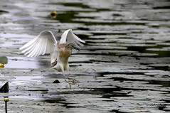 Heron splashdown (pentaxiano60) Tags: lake bird heron nature water birds lago waterbird natura uccelli ardea palude oasi airone ardeolaralloides flyingbirds uccelloacquatico torrile uccelloinvolo nikond300 sigma150600f563sport