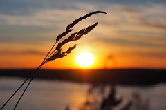 Sun downing (Jens Haggren (off for a while)) Tags: sunset sea sky sun water grass clouds landscape view sweden bokeh olympus em1 nacka