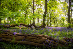 My Woodland Dream (Celebrating over 2 million views. Thank you) Tags: wood blue trees light england green nature yellow bluebells spring view purple bright native may f22 16 lush sec stumps lay 2016 likeapainting gausianblur mywoodlanddream