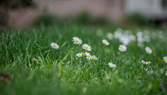 Pquerettes (Bellis perennis) (Nikan Likan) Tags: white paris flower color green field vintage lens 50mm prime bokeh mount german manual depth xenon bellis schneider retina | 2016 perennis f19 pquerettes dkl kreuznarch