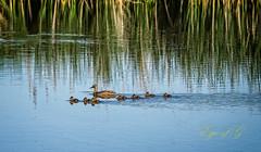 Taking the Family for a Swim.jpg (Eye of G Photography) Tags: trees usa grass babies ducks places swamp northamerica marsh washingtonstate slough skagitvalley deadtrees wylieslough skagitwildlifearea
