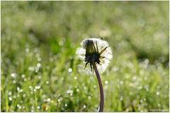 Morgenstund..... (mayflower31) Tags: flower wiese blume morgen garten morgentau pusteblume