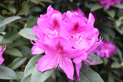 IMG_3065.JPG (robert.messinger) Tags: flowers rhodies