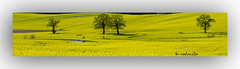 gelb leuchtenden Rapsfeldern (K.Rahn) Tags: deutschland licht sommer landwirtschaft natur felder wiesen himmel bio gelb blau sonnig landschaft sonne raps schleswigholstein feldweg weg aroma ernte anbau pfad duft lande norddeutschland blhen frhjahr idyllisch rapsfelder kontraste lndlich duftend fahrradweg blhend erblht geruch ackerbau gelblich angenehm nutzpflanzen sommerlich erntezeit bltenstand bltezeit riechend fusweg wohlriechend rapspflanzen ackerpflanze dorflandschaft