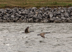 IMG_8629 (Scott Martin - Photographer) Tags: ca canada calgary alberta canadagoose canadageese bowriver fishcreekprovincialpark