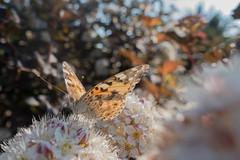 Painted Lady in backlight (Ralf Muennich) Tags: butterflies schmetterlinge paintedlady distelfalter vanessacardui