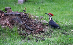 pileated woodpecker (Black Hound) Tags: bird woodpecker minolta sony pileatedwoodpecker a500 newlingristmill