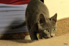 Mordi (Ale Bujj) Tags: gatos felinos animales mascotas tesoro mordi