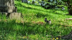 (mahler9) Tags: squirrel may scoiattolo cureuil jaym mountauburncemetery 2016 mkus mahler9