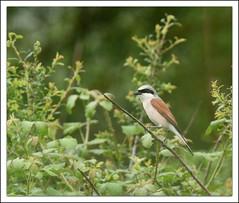 Pie-griche corcheur (guiguid45) Tags: bird nature nikon oiseaux sauvage loiret laniuscollurio 500mmf4 d810 piegrichecorcheur