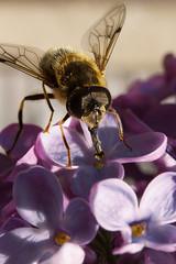 Garden macro (ultrablue187) Tags: uk macro canon garden hoverfly ef35mmf2 extensiontubes canon650d