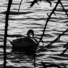 swan in a dark (Darek Drapala) Tags: park shadow blackandwhite bw bird nature water birds silhouette blackwhite swan pond poland polska panasonic warsaw warszawa panasonicg5