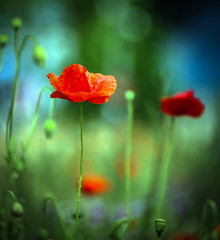 Pride (10000 wishes) Tags: red flower nature beautiful vibrant poppy wildflowers olympicstadium naturephotography