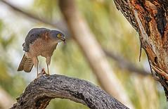 a brown goshawk feeding 1.1 (Fat Burns  (gone bush)) Tags: bird nature fauna hawk raptor australianbird barcaldine australianfauna browngoshawk accipiterfasciatus aliceriver nikond610 sigma150600mmf563dgoshsmsports