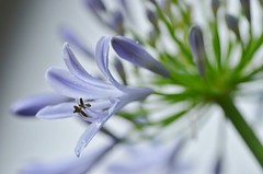 agapanthus (marionetteMay) Tags: flower garden agapanthus lily blue summer