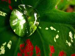 ~after the rain~ (~~ASIF~~) Tags: red plant color macro green water rain canon leaf drops natural outdoor foliage balance