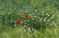 Feldblumen... (peterphot) Tags: sony natur mai franken slta37