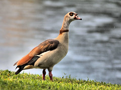 Egyptian Goose male HDR 20160523 (Kenneth Cole Schneider) Tags: florida miramar backyardbirds