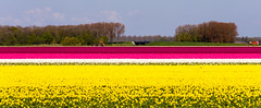 _DSC2773 (durr-architect) Tags: sky plant flower color colour field bulb landscape bright outdoor flowerbed tulip fields serene dronten flevoland oostelijk