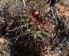 Neoporteria subgibbosa castanea (Umadeave) Tags: chile cactus montagne plante flora chili desert flore castanea eriosyce subgibbosa neoporteria