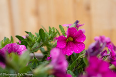 Flowers (thomask8) Tags: flowers summer flower color green nature floral canon garden outdoors colorful bokeh gardening ngc bloom blooming naturescenes gardennature simplyflowers