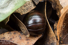 IMG_8994 (get out there!) Tags: millipede pill rotoehu