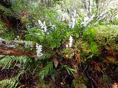 Epiphytic orchid Earina autumnalis (dracophylla) Tags: newzealand orchidaceae codfishisland easterorchid earinaautumnalis whenauhoa