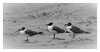 3 Gulls (1mpl) Tags: bw galveston monochrome birds texas niksilverefexpro canon7dii