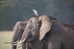 Enjoying the sun !!! (lhirlimann) Tags: africa elephant bird kenya wildlife oiseau afrique amboseli riftvalley amboselinationalpark canonef400mmf28lisusm canonefextender2xii canoneos5dmarkii