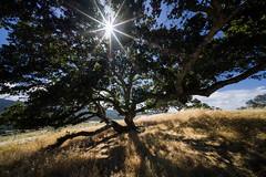 California Oaks 3 (Gordon-Shukwit) Tags: california summer shadows sfbayarea oaktree