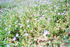Bokeh in Blue (thomas_anthony__) Tags: flowers blue plants flower green film nature analog canon outdoors gold spring pretty kodak bokeh magic 200 wildflowers a1 analogue canona1 kodakgold kodakgold200