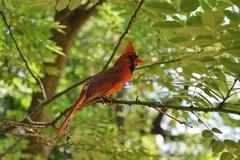 Cardinal. (BalcerakC) Tags: park trip red bird happy cool nikon day cardinal watching central killer murder d3300