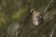 nikon D7200 / nikkor 300mm f/4 (Rich de Tilly utilisateur Nikon) Tags: nature animal nikon attitude extrieur oiseau 300mmf4 animalier 300f4 naturesauvage d7200 nikond7200
