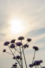 20160618-DS7_6485.jpg (d3_plus) Tags: street sunset sky plant mountains flower nature field japan nikon scenery dusk daily ragnarok bloom   streetphoto 28105mmf3545d toyama nikkor  ricefield     dailyphoto  riceplant   28105    28105mm   zoomlense       28105mmf3545 toyamapref d700 281053545 nikond700  aiafzoomnikkor28105mmf3545d  28105mmf3545af sankyovillage aiafnikkor28105mmf3545d