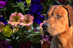Flower Guard (swong95765) Tags: flowers plants dog garden colorful canine curious alert aware observant