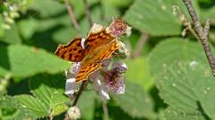 C-Falter auf Brombeerblte (Oerliuschi) Tags: butterfly panasonic brombeerblte cfalter macroaufnahme lumixgx8 olympusm60mm