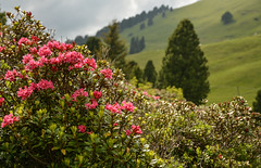 Rosa delle Alpi (lorenzapanizza) Tags: flowers mountains nature colors beautiful landscape redflower dolomiti photoproject dolomiten landscapephotography rododendro rosadellealpi