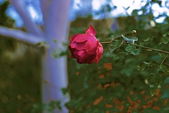 Rose and GumTree! (maginoz1) Tags: flowers winter abstract art contrast canon curves july surreal australia melbourne manipulation victoria gumtree 2016 bulla 100d