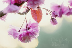 116.365.2015 - Blossom to the rescue (Claire Plumridge) Tags: flowers sunlight tree backlight garden outside petals blossom eveningsun bokeh dusk photograph backlit 365 day116 appleblossom 2015 beautyinnature colourimage 365project 2015yip 365the2015edition fujixt1 3652015 2015ayearinpictures 1163652015
