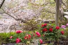 DS7_1018.jpg (d3_plus) Tags: plant flower building nature rain japan walking spring scenery shrine bokeh kamakura daily architectural telephoto rainy bloom  cherryblossom  sakura tele yokohama  tamron  kanagawa  shintoshrine   dailyphoto sanctuary 28300mm  shonan  kawasaki thesedays     28300    tsurugaokahachimangu    holyplace tamron28300mm   tamronaf28300mmf3563   a061   architecturalstructure telezoomlens d700   tamronaf28300mmf3563xrdildasphericalif nikond700 tamronaf28300mmf3563xrdildasphericalifmacro tamronaf28300mmf3563xrdild nikonfxshowcase a061n