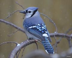 """Blue Jay"" Cyanocitta stelleri"" (jackhawk9) Tags: canon newjersey ngc bluejay cyanocitta backyardbirding stelleribirdswildlifenaturejackhawk9southjersey"