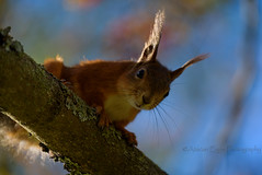 ATA_9520 (Photographer Atacan Ergin) Tags: squirrel orava kurre