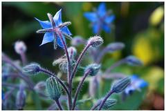 Spiky blue (agnieszka.falkowska) Tags: blue summer flower macro nature colors canon garden spiky colorful poland bialystok
